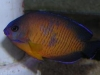 Marine Angel Fish to Buy: Coral Beauty