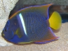 Saltwater Angel Fish to Buy: Passers Angel