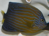 Marine Angel Fish to Buy: Septentrionalis Angel
