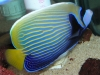 Saltwater Angel Fish to Buy: Imperator Angel