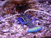 Spiny Blue Lobster