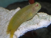 Marine Fish to Buy: Yellow Fuscus Blenny