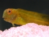 Marine Fish for Sale: Yellow Fuscus Blenny