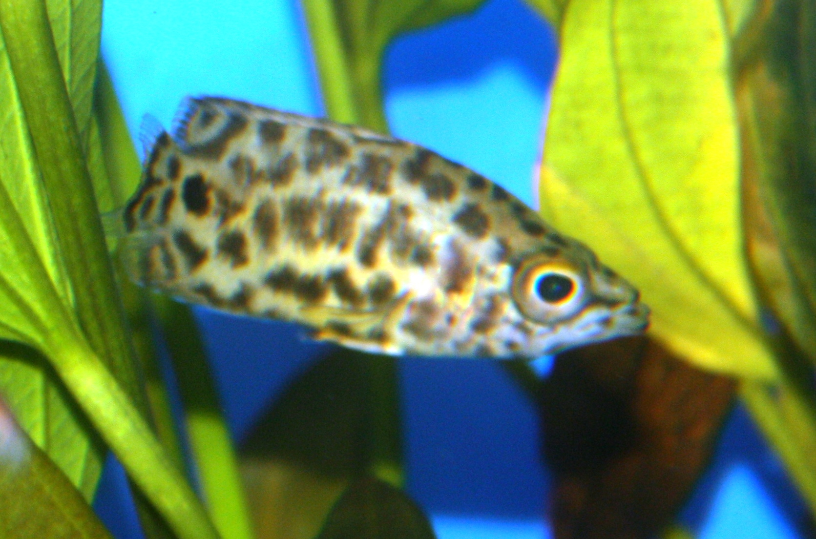 Absolutely fish blogs leopard ctenopoma the brown fish for Freshwater fish for sale