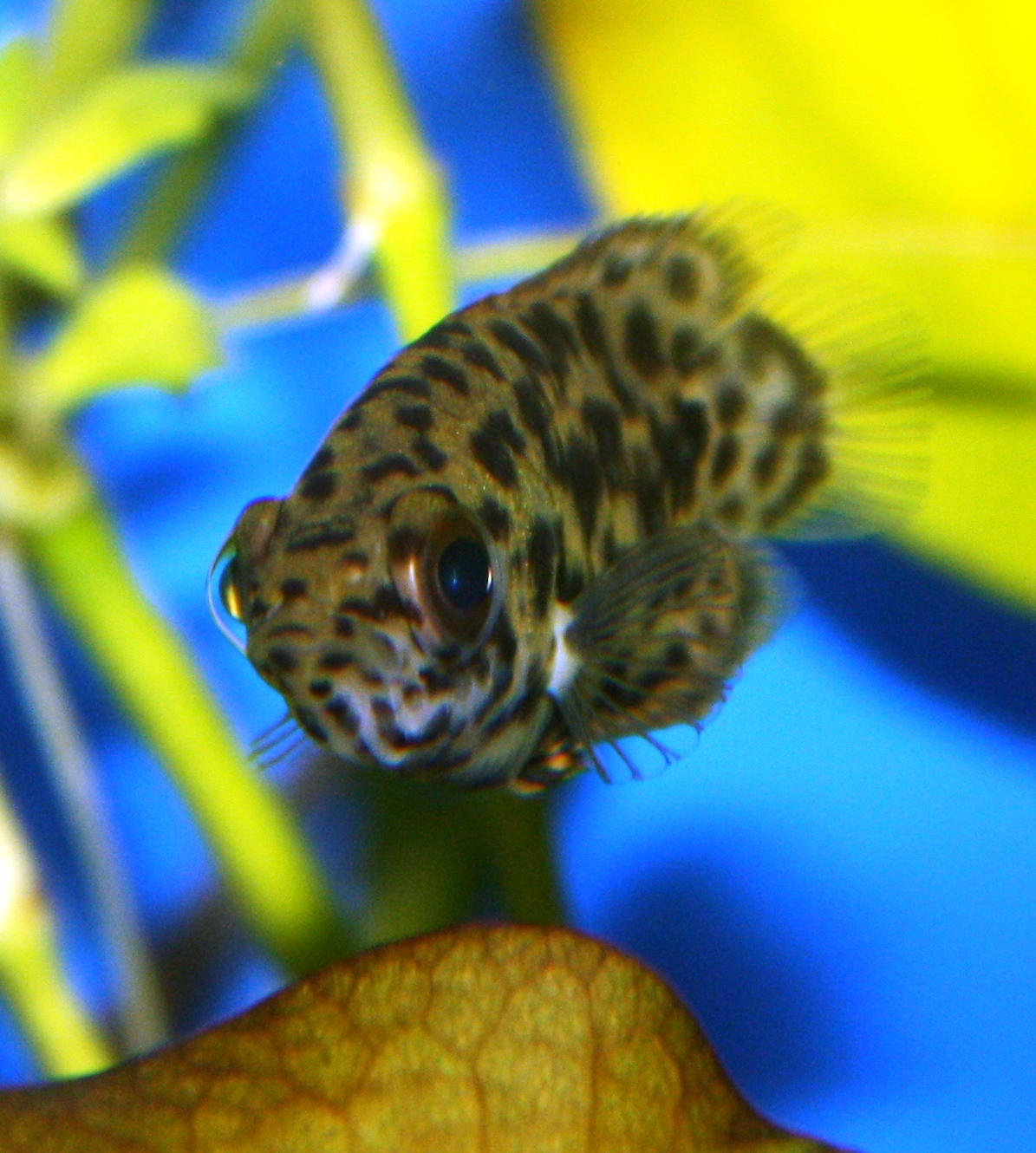 Absolutely fish blogs leopard ctenopoma the brown fish for Freshwater fish guide