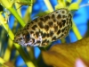 Freshwater Fish for Sale - Ctenopoma acutirostre