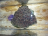 Frags For Sale - Brain Coral