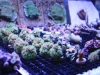 Frags For Sale - Galaxia