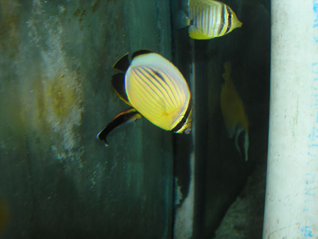Marine Fish for Sale: Austricus Butterfly