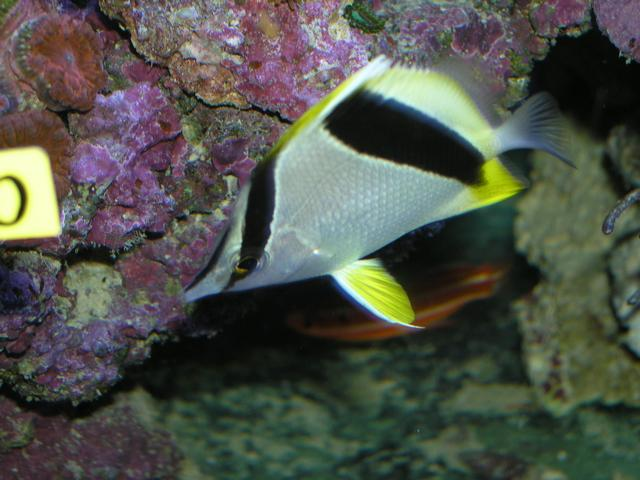 Marine Fish for Sale: Aya Butterfly