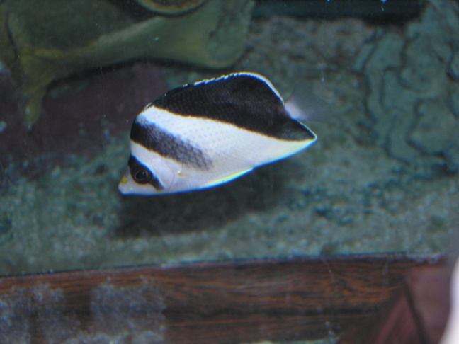 Marine Fish for Sale: Burgessi Butterfly