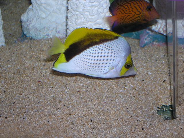 Marine Fish for Sale: Declives Butterfly
