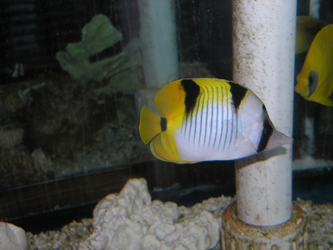Marine Fish for Sale: Falcula Butterfly