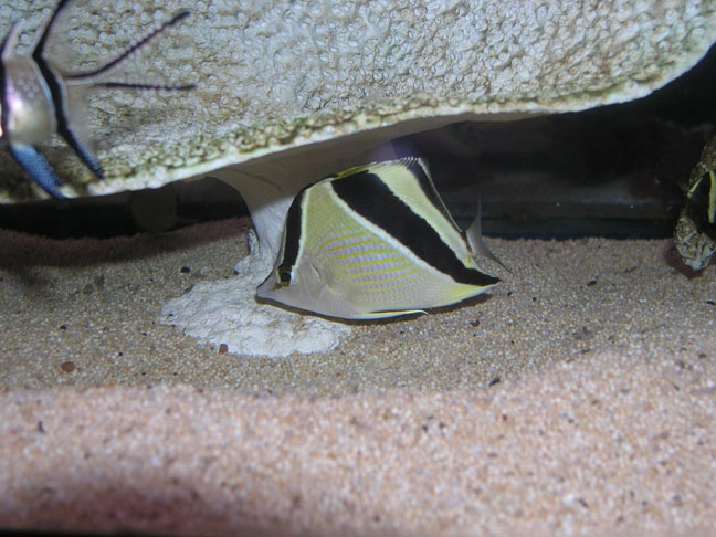 Marine Fish for Sale: Guyanensis Butterfly