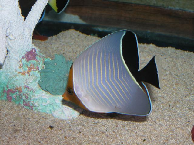 Marine Fish for Sale: Lavartus Butterfly