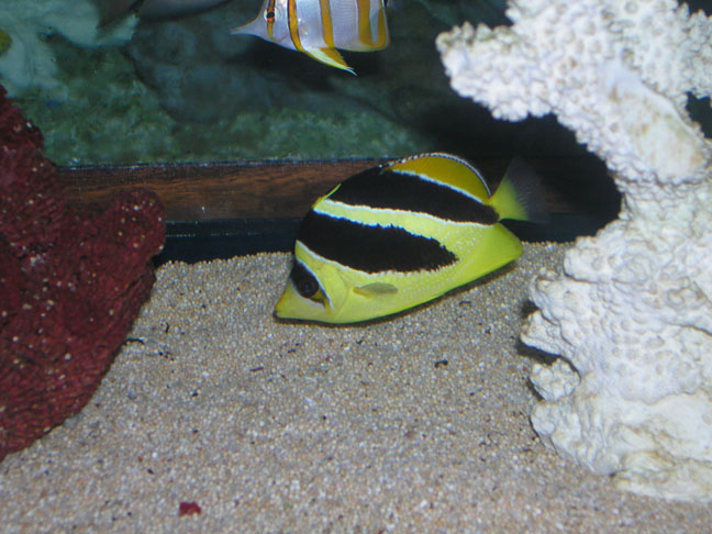 Marine Fish for Sale: Mitratus Butterfly
