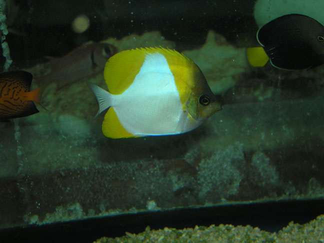 Marine Fish for Sale: Polylepis Butterfly