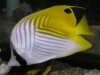 Marine Fish for Sale: Auriga Butterfly