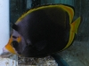 Marine Fish for Sale: Flavirostris Butterfly