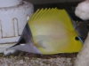 Marine Fish for Sale: Longnose Butterfly