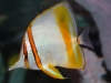 Marine Fish for Sale: Marginalis Butterfly