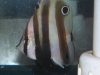 Marine Fish for Sale: Coradion Butterfly