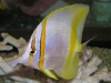 Marine Fish for Sale: Marginlais Butterfly