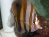 Marine Fish for Sale: Muelleri Butterfly
