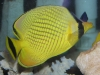 Marine Fish for Sale: Rafflesi Butterfly