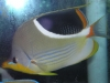 Marine Fish for Sale: Saddleback Butterfly