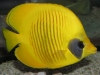 Marine Fish for Sale: Semilavartus Butterfly