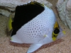 Marine Fish for Sale: Tinkeri Butterfly