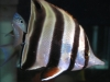 Marine Fish for Sale: Truncatus Butterfly