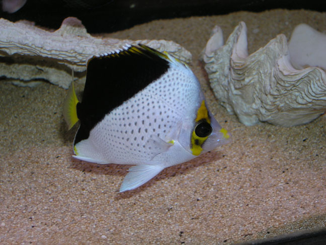 Absolutely fish photo gallery butterfly fish for Butterfly fish freshwater