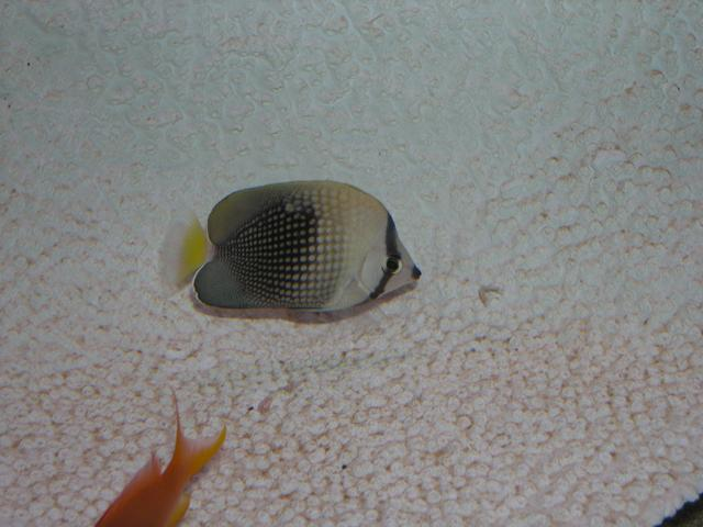 Marine Fish for Sale: Trichorus Butterfly