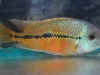 Freshwater-Fish-for-Sale-WN01-1