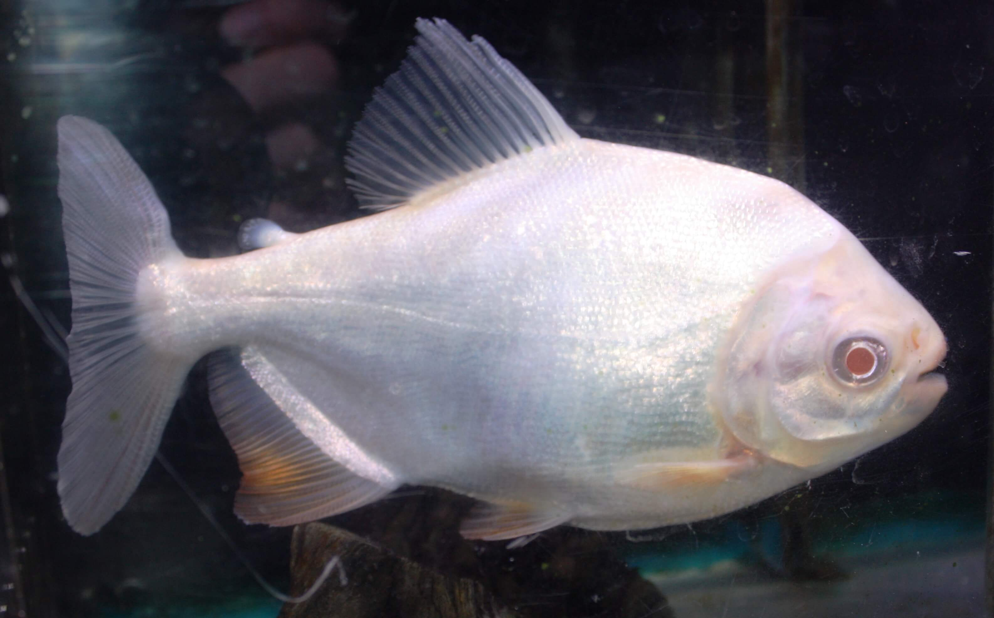 Absolutely fish photo gallery characinidae for Freshwater fish for sale