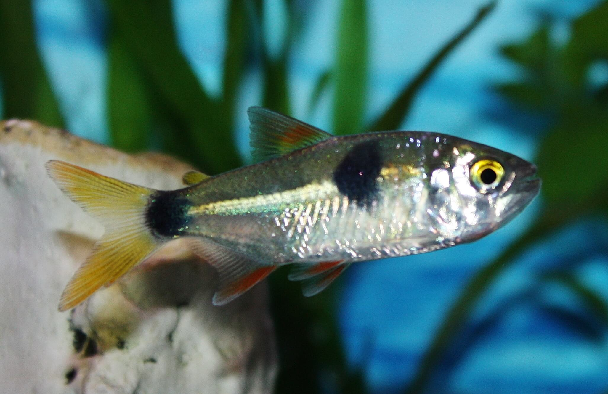 Absolutely fish photo gallery characinidae for Nj freshwater fishing