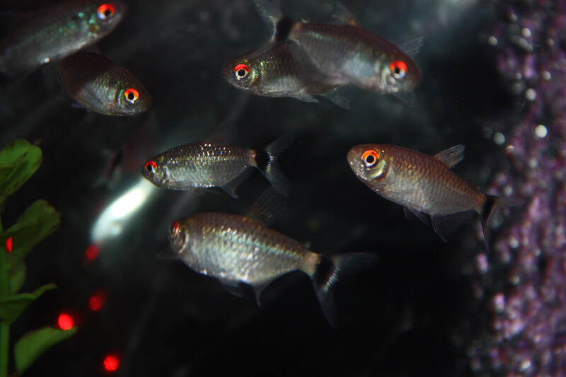 red-eye-tetra
