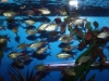 columbian-red-fin-tetra-tank