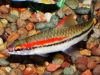 Freshwater Fish for Sale Absolutely Fish NJ - Dennisoni Barbs