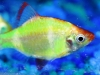 Freshwater Fish for Sale Absolutely Fish NJ - Glow Tiger Barb