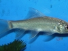 Freshwater Fish for Sale Absolutely Fish NJ - Giant Dolphin Barb