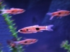 Freshwater Fish for Sale - Rasbora Kalochroma