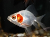 Red Ear Goldfish