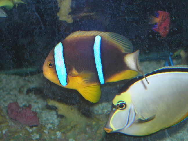 Absolutely fish photo gallery damsels fish clown fish for Freshwater clown fish