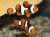 Marine Fish for Sale: Percula Clowns
