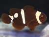 Marine Fish for Sale: Picasso Maroon Clown