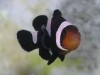 Marine Fish for Sale: Black Ocellaris Clown