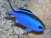 Marine Fish for Sale: Blue Reef Chromis